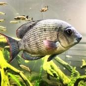 Academy Fish