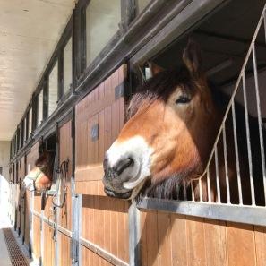 Brabant Horses